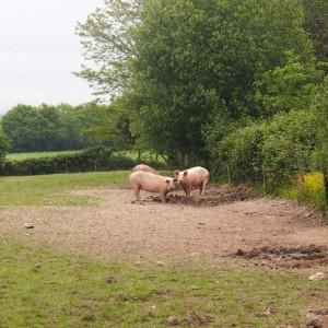 Cochons dans le champ