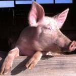 Cochon Ferme des Landes