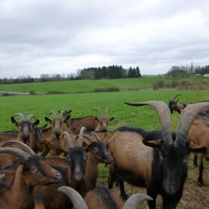 chèvres2 avril 2015