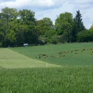 prairies chèvres 0415 2