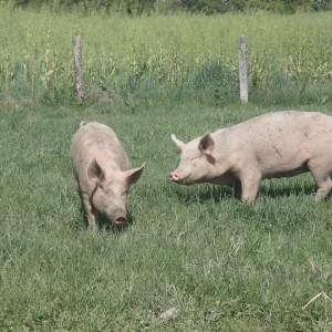 cochons qui mangent de l'herbe 1