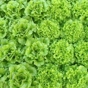 salades bientôt prêtes