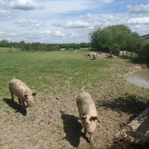 cochons pagnac 0415