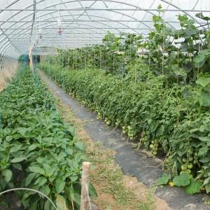 juillet, poivrons, tomates, concombres